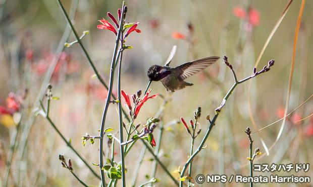コスタハチドリ Costa's hummingbird