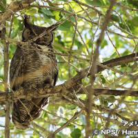 アメリカワシミミズク Great Horned Owl