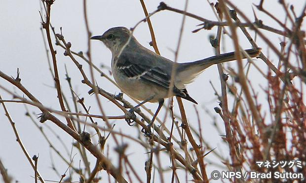 マネシツグミ Northern Mockingbird