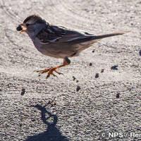 ミヤマシトド White-crowned sparrow